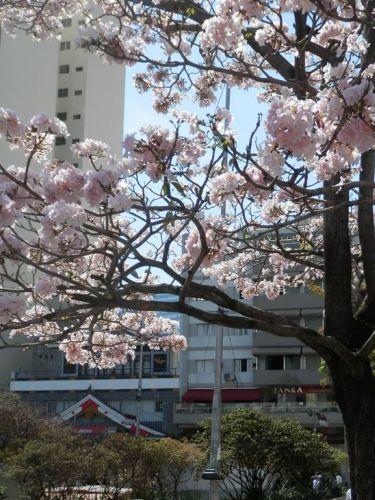 dzielnica kwitnących wiśni