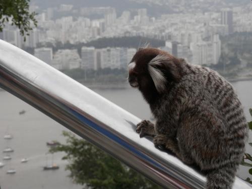 małpki Sagüi